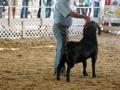 REDCREEK'S NIGHTSHIFT in ring for Grand Champion Yearling Buck judging,
