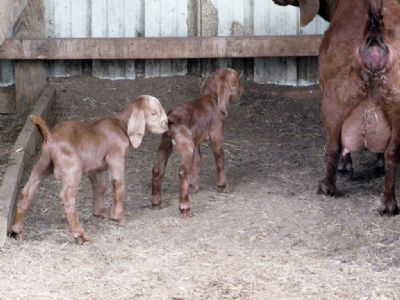 REDCREEK'S TWILIGHT and her spotted buck and doe born Mar 17, 2012.,