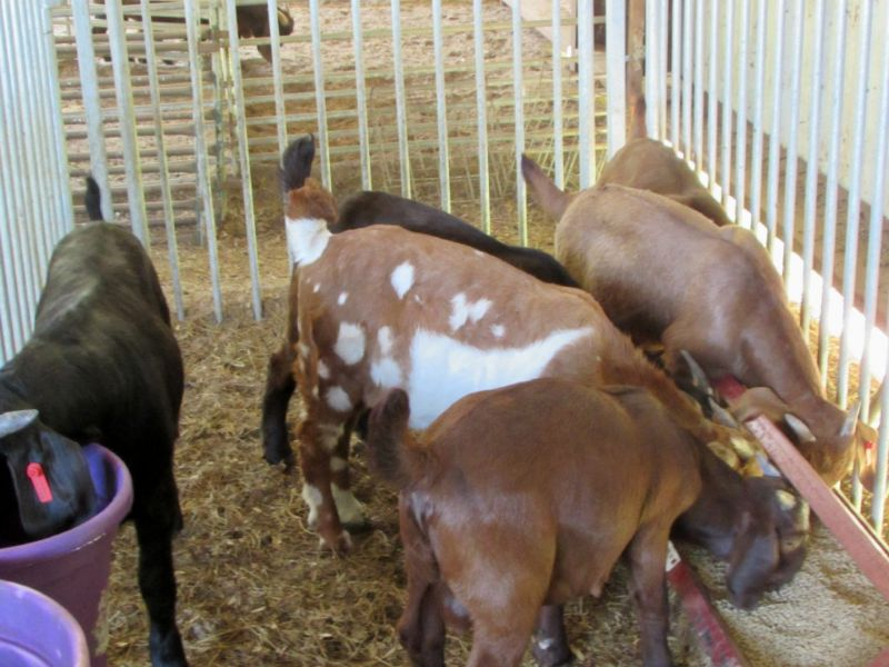 Young boer ABGA Fulblood colored boer bucks starting at $350 all sold
